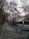 桜花の下は渋滞