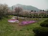 駐車場前の芝桜