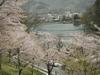 桜樹と姿の池