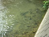 柳瀬川に泳ぐ鯉