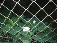 ダツラの白い花