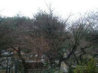 手前の樹に葉はないが、その先の視界は樅の樹に遮られる
