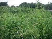 雑草ぼうぼうの対照区