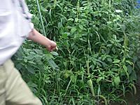雑草をかき分けるとダイズが見える