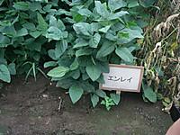 除草剤耐性を導入しないエンレイの区画には雑草も