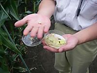 トウモロコシに取りつくガの幼虫