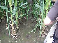 トウモロコシ畑には雑草がない