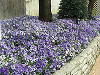 花壇一面の紫の花