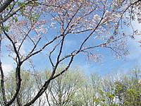 青空を背景に映える桜