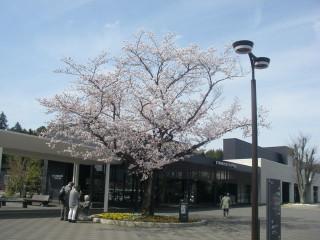 歩道の植え込みに咲くサクラ