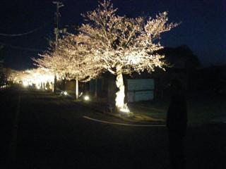 道路右側の歩道に並ぶ照らされた桜の木