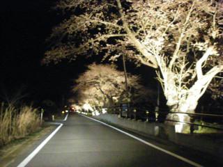 道の片側だけに続く桜並木。
