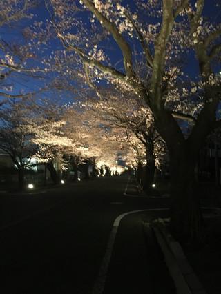 道路の両側に桜並木が続き、下から照らされている。