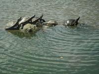 金山緑地公園の亀