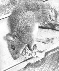 罠にかかったネズミ
