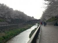 右岸に桜並木、左岸に遊歩道