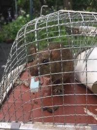金網籠のネズミ捕りにかかったネズミ