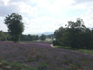 斜面を埋める紫色の花。その向こうに山並みと青い空